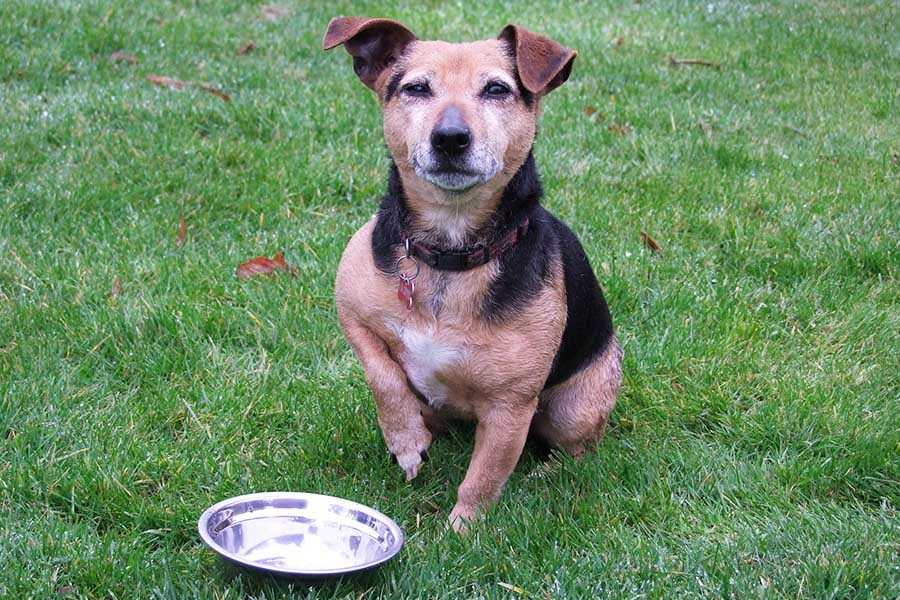 dog on grass waiting for food with his bowl