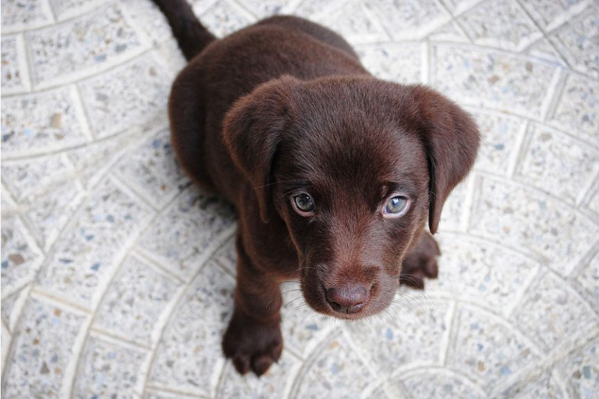 brown Labrador puppy on a patio